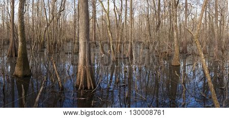 Cypress wetlands in the Suwanee River in Florida