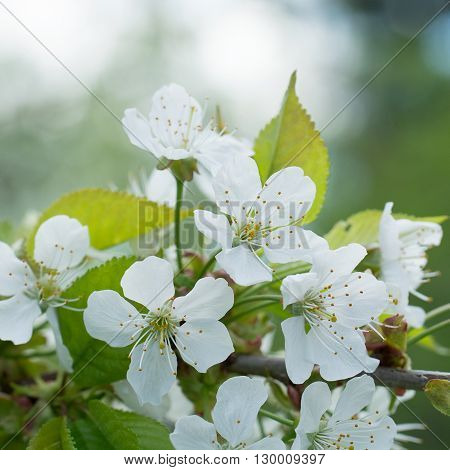 Cherry Flowers with water drops. Fruit tree.