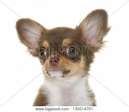 puppy brown chihuahua in front of white background