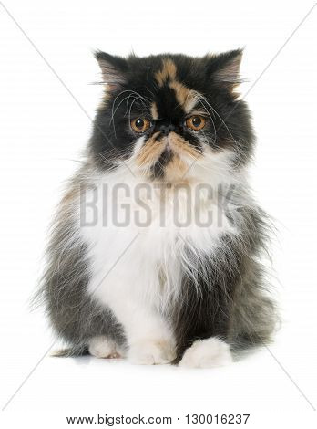 tricolor persian cat in front of white background