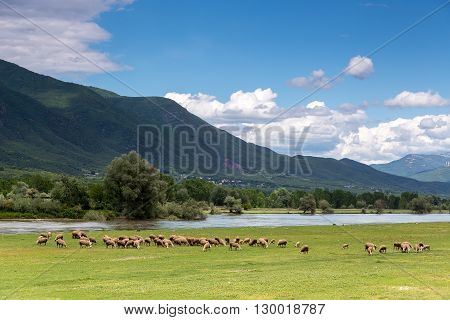 Sheep Grazing Next To The River Strymon Spring In Northern Greece. Lambs And Sheep Eat Grass On A Su