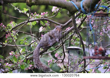 Grey Squirrel on a branch of my apple tree in my urban back garden.