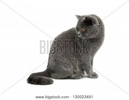 beautiful cat sits on a white background close-up. horizontal photo.