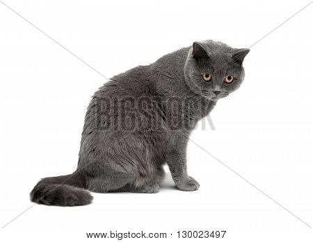 cat with yellow eyes sitting on a white background close-up. horizontal photo.
