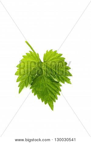 Isolated leaf hops verticallyon a white background.