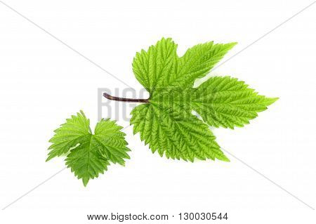 The leaves of hops isolated on a white background.