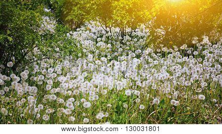 Dandelion field - dandelion seeds. Lots of andelions in sunlight