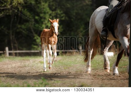 A Pretty Foal Stands In A Summer Paddock