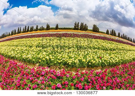 The colors of spring. Field of blossoming garden buttercups. Israeli kibbutz on the border with the Gaza Strip