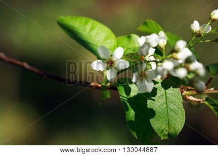 Closeup of tree twig with green leaves and white flowers