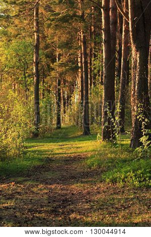 Path across pine forest at summer. Nature background