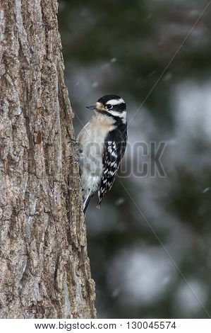Downy Woodpecker taken during the winter in Kentucky.