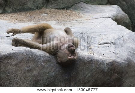Posing Baboon gazing and relaxing at Singapore Zoo