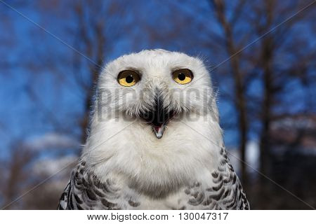 Closeup portrait of a Snowy Owl with Yellow eyes on Blue sky Background