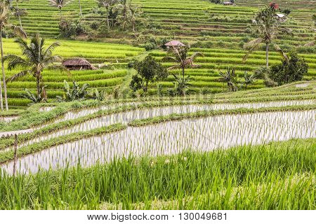 Young rice are growing in the paddy field. Rice field Jatiluwith. Rice.