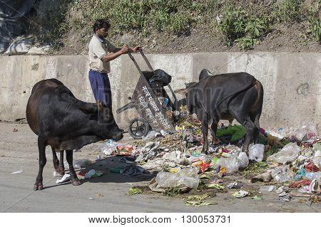 RISHIKESH INDIA - OCTOBER 19 2014 : Cows eat rubbish in Rishikesh India