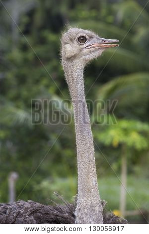 Beautiful portrait photo of big African ostrich in zoo