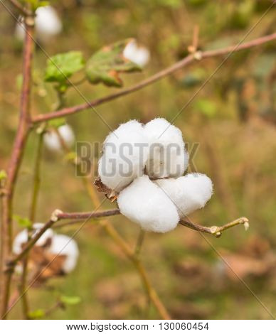 close up cotton in the field ready to harvest