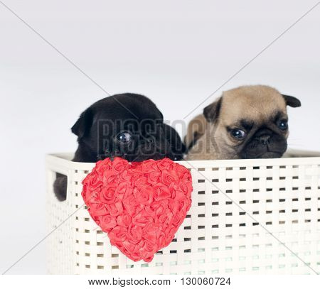 Pug puppies in a box in studio