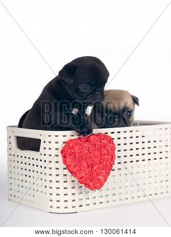 Pug puppies in a box in studio going out from basket