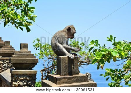 Macaque Monkey eating fruit at Uluwatu temple in Bali Indonesia