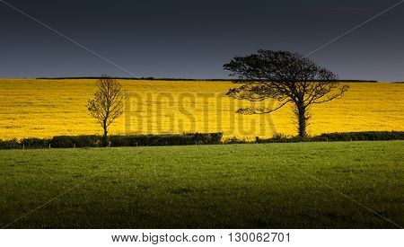 A rapeseed field near the Heritage coast in South Glamorgan, South Wales