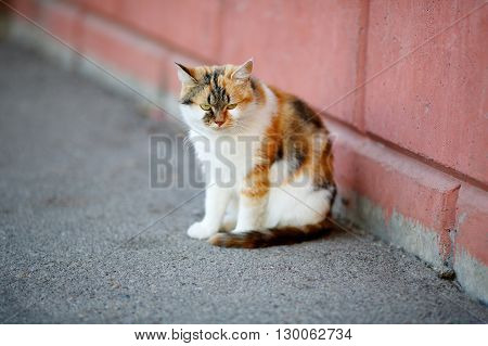 Mixed Breed White And Red Cat Sitting On Pavement Near The Wall