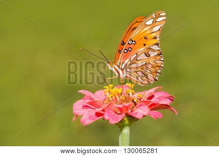 Orange, black and silver Gulf Fritillary butterfly feeding on a flower in summer garden