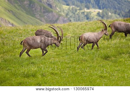 Alpine Ibex closeup in the mountains