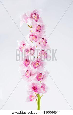 Cymbidium pink  orchid branch on gray background