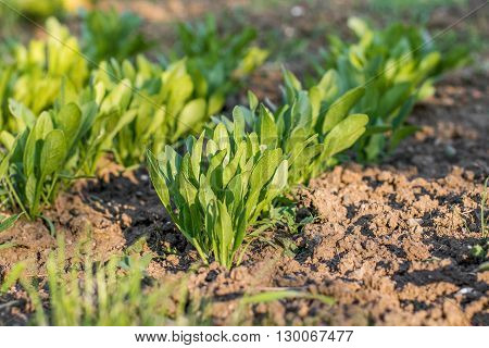 Young spinach leaves in row in a vegetable bed of Garden in Springtime