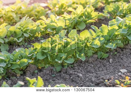 Young radishes in a vegetable bed of Garden at Sunset in Springtime