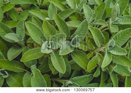 Background of beautiful leaves of sage, overhead shots