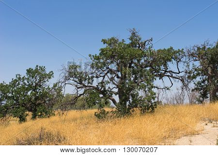 Gnarled branches of a green oak tree growing on a hilltop in southern California.
