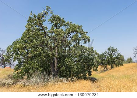 Cluster of green oaks trees on top of yellow California hillside.