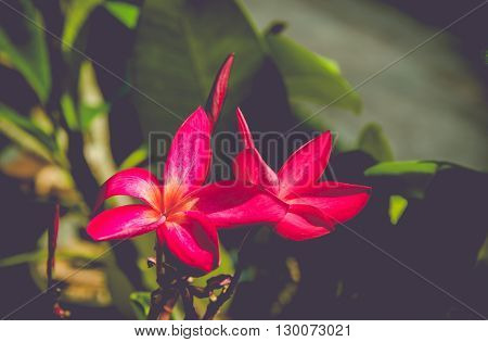 Beautiful red azalea flowers in garden. Vintage tone