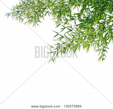 Branches of a bamboo isolated on white background. Selective focus