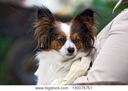 small dog with a shaggy ears in the hands of women