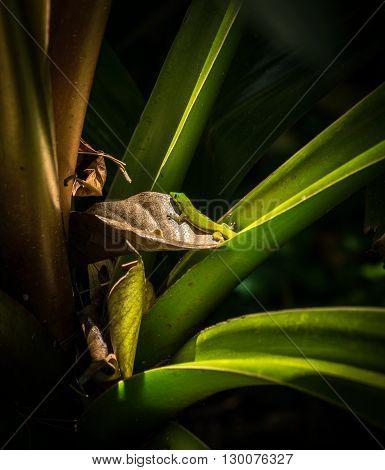 Gecko On An Aloe Plant