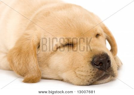 Sleepy Puppy Labrador Retriever