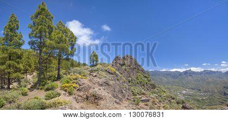 Gran Canaria, Canarian Pine Trees At  Risco Chapi