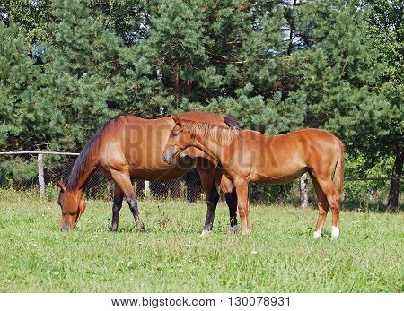 Two horses grazing on a summer pasture