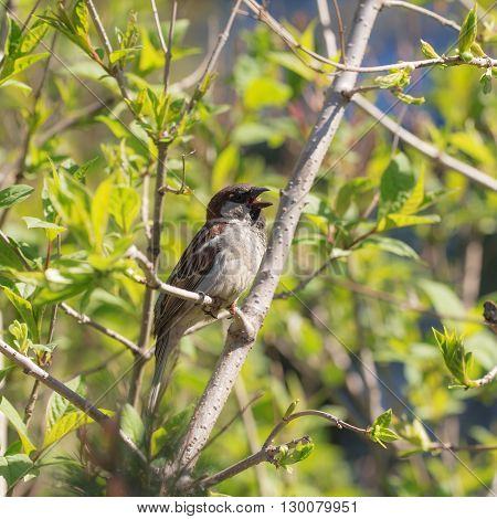 singing sparrow on bush branches in spring