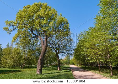 Two oak trees in Yauza floodplain park in Moscow in May