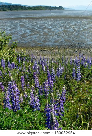 Blue Lupines provide a constrast against a tide exposed muddy beach