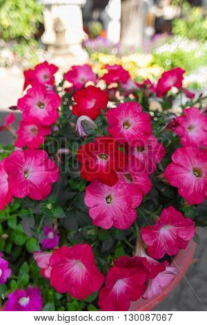 Red Pink Petunia flower in the pot