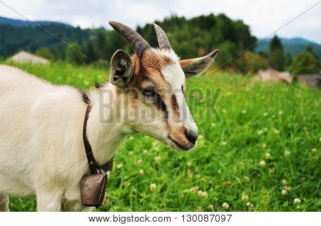 domestic goat Capra aegagrus hircus outside on meadow