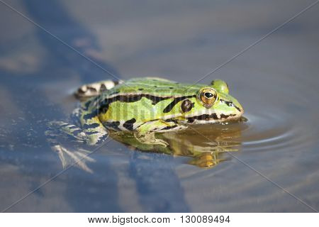 Green Frog In Lake