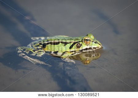 Green Frog In Nature
