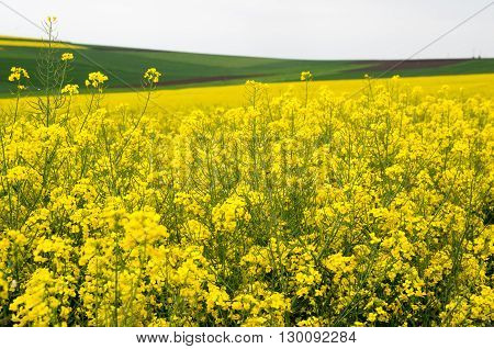 Field with canola, colza, cole-seed, rapeseed. Field of flowering canola.